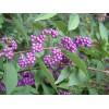 紫珠,糯米条,红雪果,猥实,平枝栒子,水栒子,金露梅,太平花、多花胡枝子