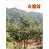 【山楂树】3-15公分山楂树.山西山楂树.山楂树价格