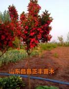 乔木极品红花