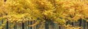 荷兰黄金枫