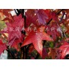 北美枫香彩色苗木供应