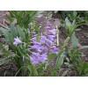 紫玉簪 白玉簪荷兰菊 美人蕉紫露草 狼尾草蛇鞭菊 蓝花鼠尾草