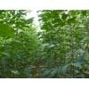 高密白蜡出售价格,山东速生白蜡价格,高密白蜡苗木供应信息