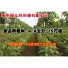 供应4-6公新品种楸树,周口速生楸供应,周口速生楸苗圃基地