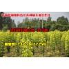 河南金叶复叶槭价格,2公分金叶复叶槭价格,周口金叶复叶槭苗圃基地