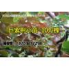 巨紫荆小苗大量供应,河南巨紫荆苗价格
