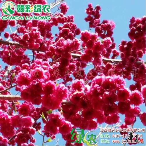 台湾牡丹樱 (4)