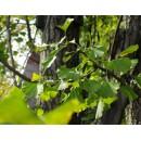 江苏邳州哪里有3-80公分的实生银杏,江苏银杏价格