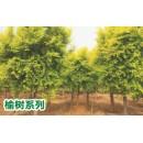 陕西汉中供应榆树苗木价格
