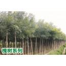 陕西汉中供应槐树系列价格