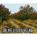 河南洛阳供应高杆红叶石楠价格信息