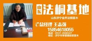 王志强——山东济宁李营镇信誉苗木基地