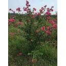 山东烟台莱州出售美国红火球紫薇价格信息