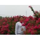 河南周口出售玫红色紫薇价格