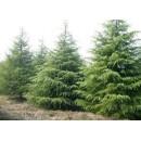 雪松供应价格、雪松苗木大量供应