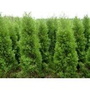 北京桧苗木供应、北京桧树苗价格