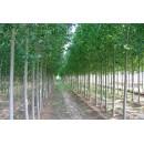 杨树,107,中林46,3.5--4米高,以及种条