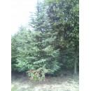 贵州的雪松树价格,雪松苗圃最新报价