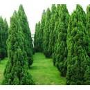 滁州龙柏供应基地、龙柏苗木供应价格