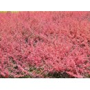 红叶小檗价格/红叶小檗出售价格/红叶小檗苗供应商