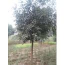 南京苗圃红叶石楠树价格|河北红叶石楠球价格