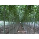 白蜡——山东滨州绿园苗木基地