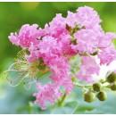 紫薇——山东滨州绿园苗木基地