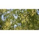 国槐——山东滨州绿园苗木基地