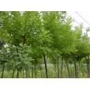 刺槐——山东滨州绿园苗木基地