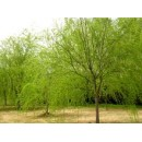 柳树——山东滨州绿园苗木基地