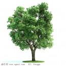 榆树——山东滨州绿园苗木基地