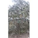 耐东——胶南市文华苗圃