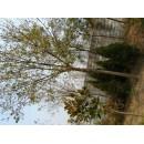 白蜡——胶南市文华苗圃