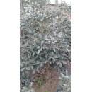 桂花——胶南市文华苗圃