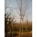 法桐——胶南市文华苗圃