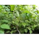 青檀树石榴树木瓜树