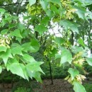 三角枫——安徽滁州枫叶红苗圃