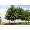 五角枫——安徽滁州枫叶红苗圃