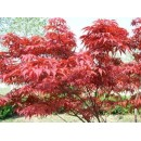 红枫——安徽滁州枫叶红苗圃