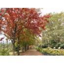 枫香——安徽滁州枫叶红苗圃