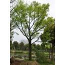 朴树——安徽滁州枫叶红苗圃