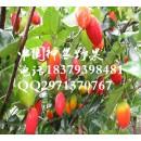 红参果种苗批发供应 2016果蔬种植好项目