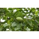 木瓜海棠——河南龙婷苗木有限公司
