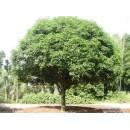 香樟——安徽省肥西县城关常绿苗木场