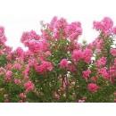 紫薇——安徽省肥西县城关常绿苗木场