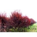 红叶李——安徽省肥西县城关常绿苗木场