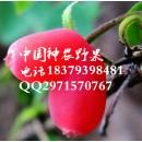 最美水果相思果种苗供应