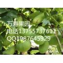 高产新品种八月瓜中华肾果种苗供应
