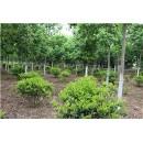 河南卢氏鑫泽林木种苗有限公司——七叶树