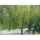 济南玉明柳树基地——大垂柳